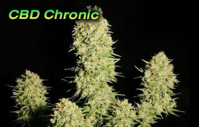 CBD-Chronic-10